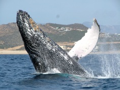 Whale Watching: Cabo, Mexico